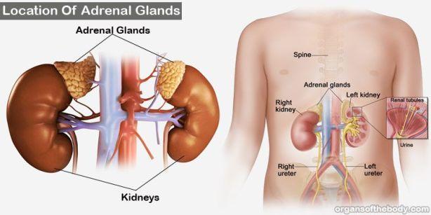 adrenal-glands-location.jpg